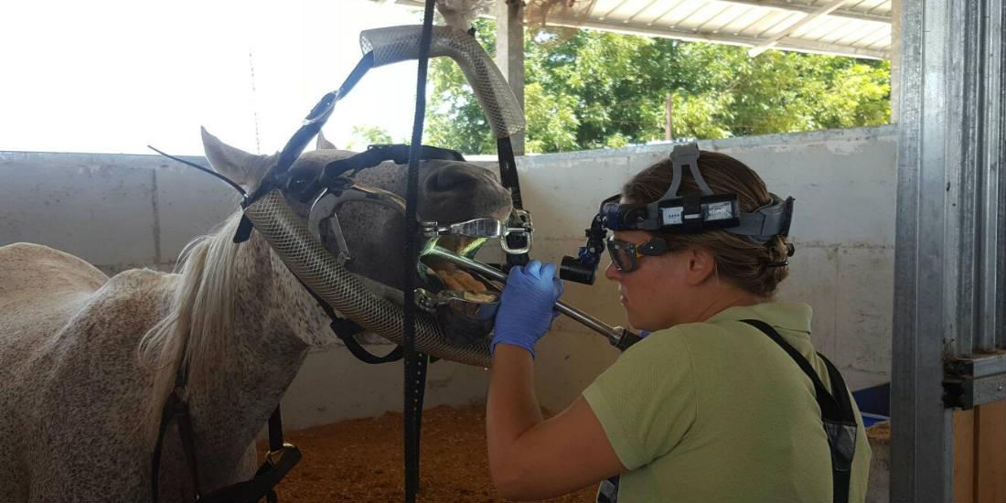 טיפולי שיניים לסוסים