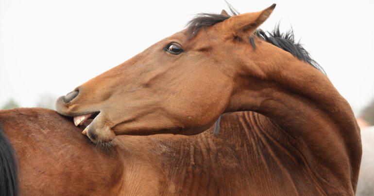 סוס מתגרד