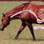 כיב קיבה בסוסים – אולקוס בסוסים
