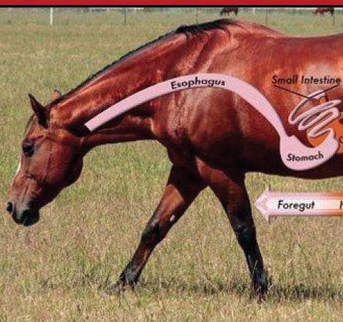 כיב קיבה בסוסים