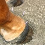 דיקור בסוסים – חלק א