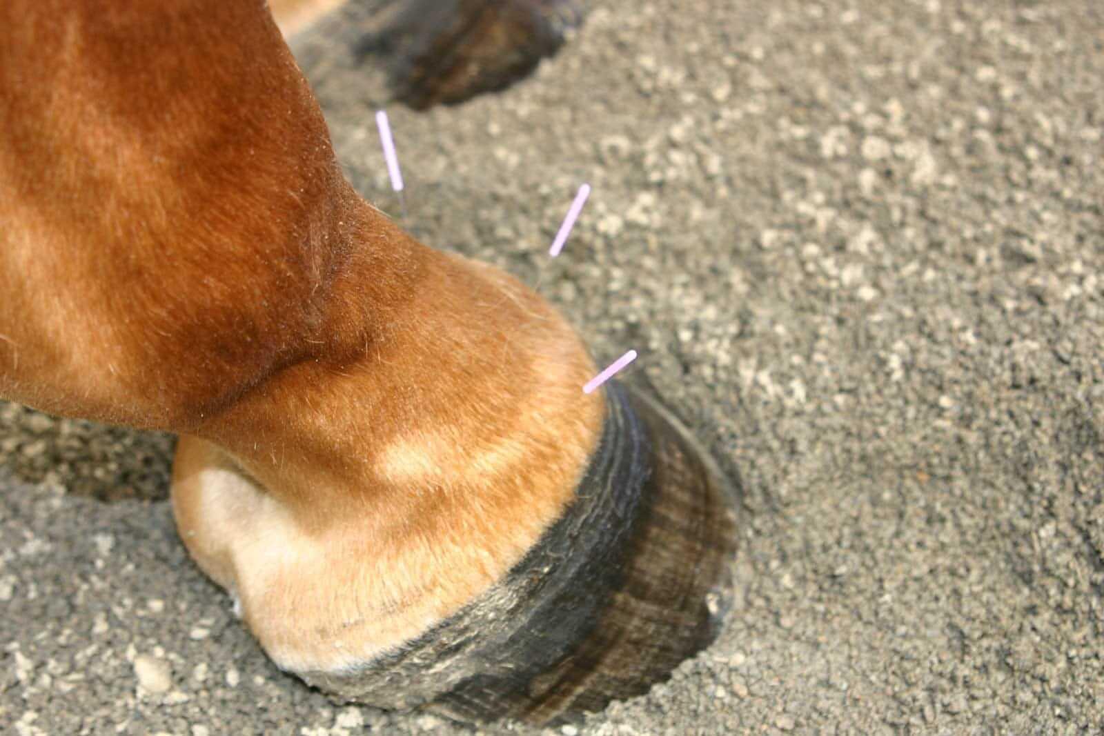 רפואה סינית בסוסים